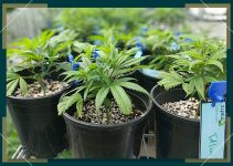 The Growth Stages of the Marijuana Plant