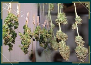 How To Setup A Drying Room For Weed