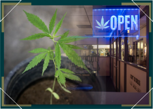 Home Growing Marijuana vs Buying at Dispensary