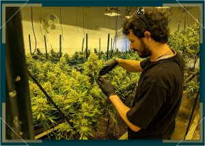 Quick Reference Guide to Growing Marijuana at Home