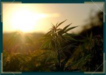 Differences Between Autoflower and Regular Strain Marijuana Plants