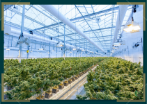 The Pros and Cons of Growing Autoflower vs Photoperiod Marijuana