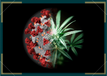 Studies Show Cannabis Potential Against COVID 19
