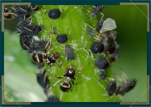How to Rid Your Cannabis Plant of Aphids