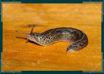 How to Rid Your Cannabis Plant of Slugs & Snails
