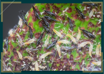 How to Rid Your Cannabis Plant of Thrips
